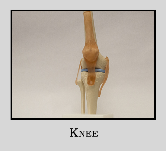 Human Model Knee