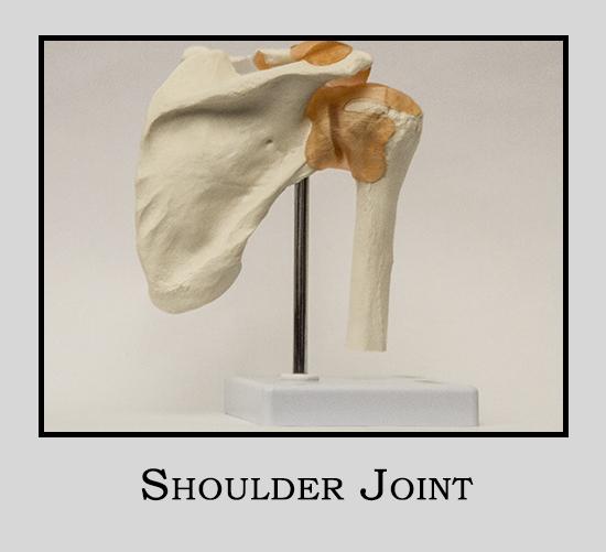 Human Model Shoulder