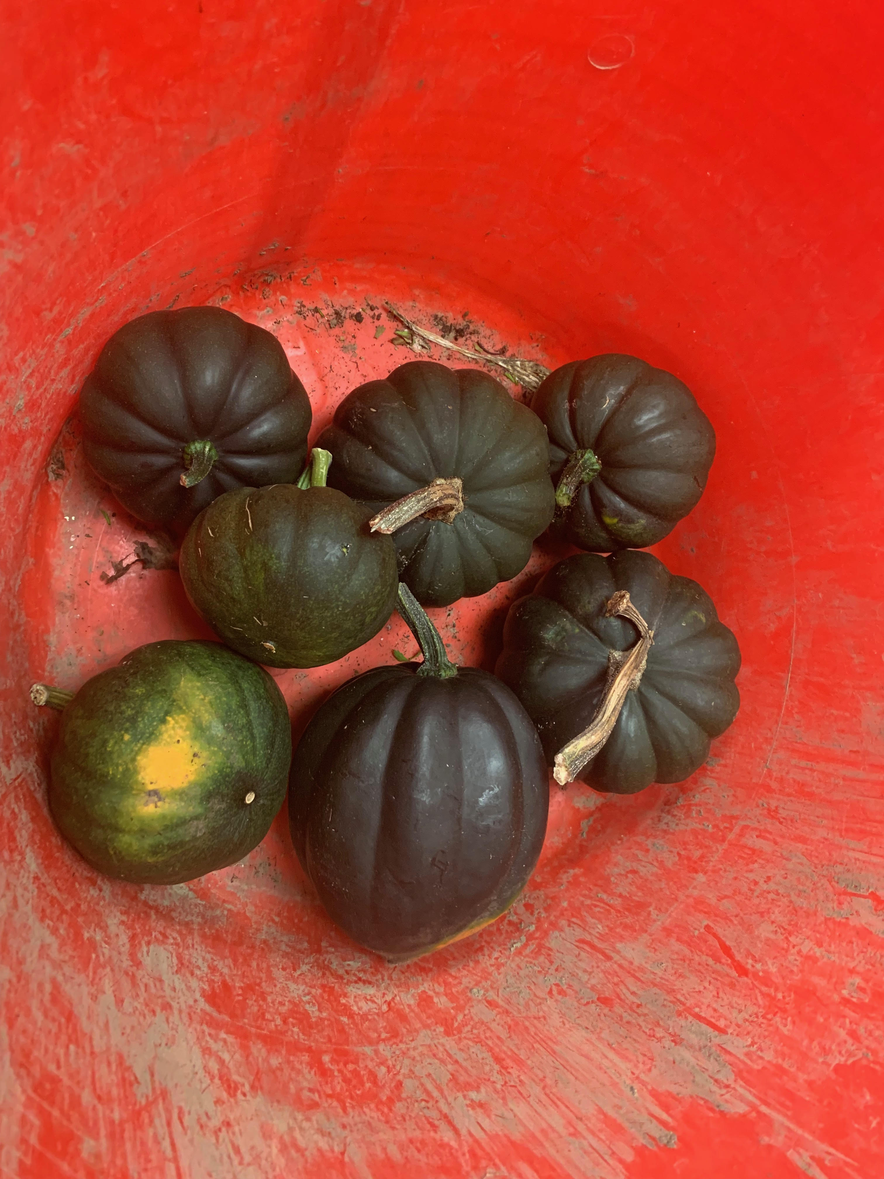 winter squash for food pantry