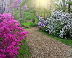 path with rhododendron bushes