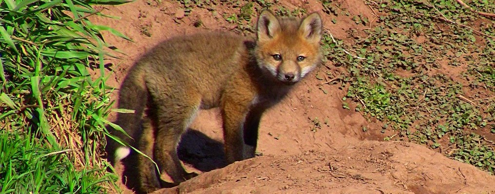 Image of a young fox.