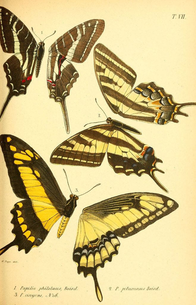 Plate with drawings of butterflies from Biodiversity Heritage Library.