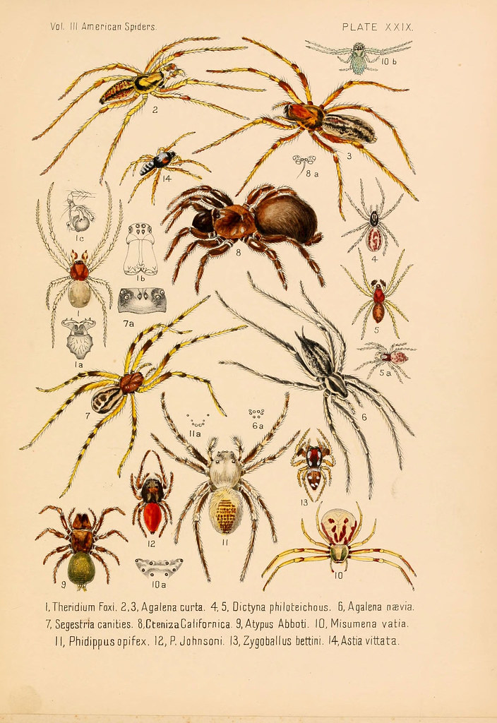 American spiders - drawings and paintings of american spider species.
