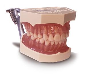 Adult Dental Model