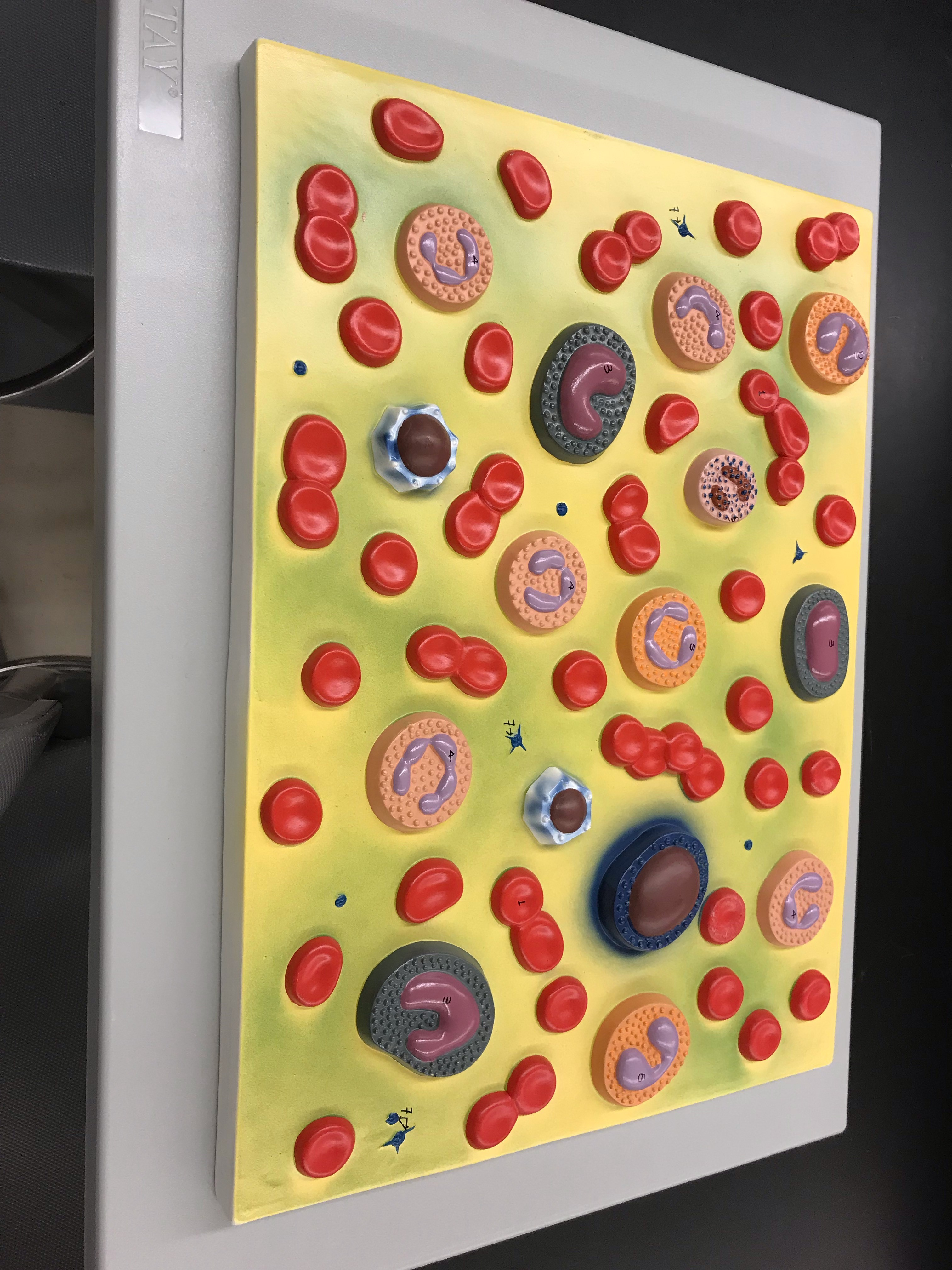 Human Blood Cell model