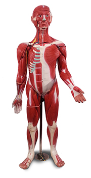 Image of muscle man model