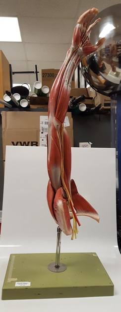 muscles of the arm with shoulder girdle model