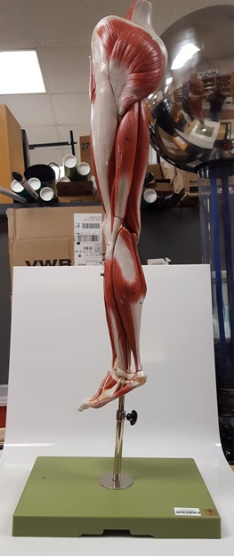 model of human leg and portion of pelvis