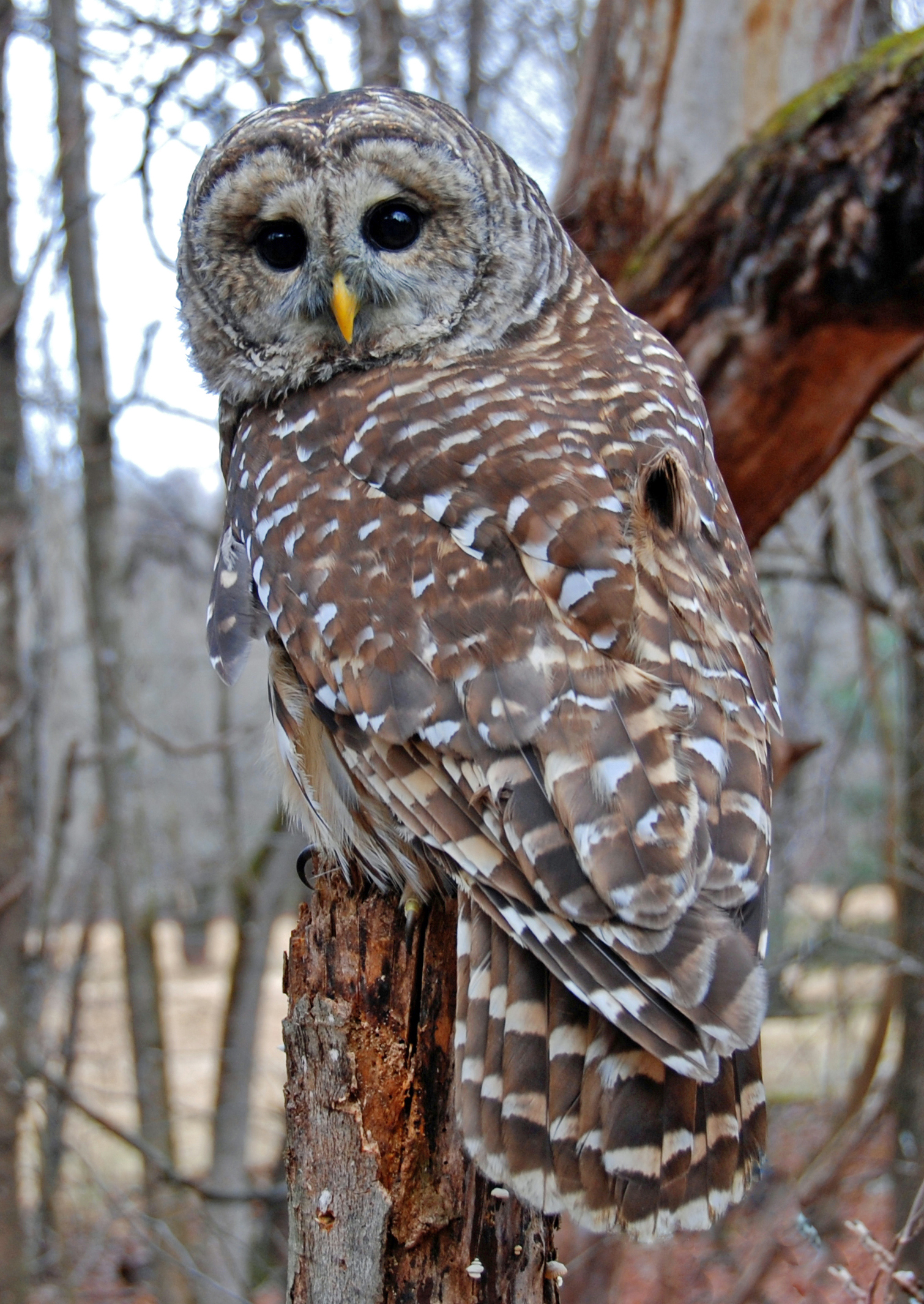 Photo of a Barred Owl