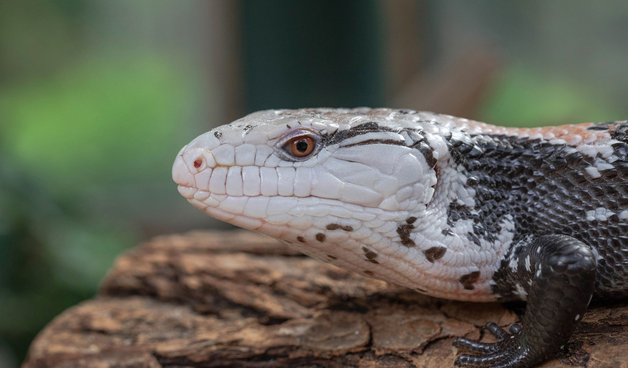 Picture of a black and white lizard