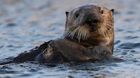 It's Tea Time! Live narrated feeding with the Sea Otters of the Monterey Bay Aquarium