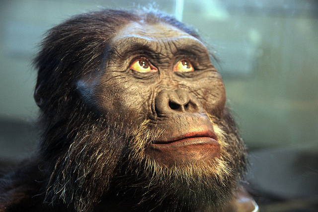 Australopithecus afarensis adult male head model