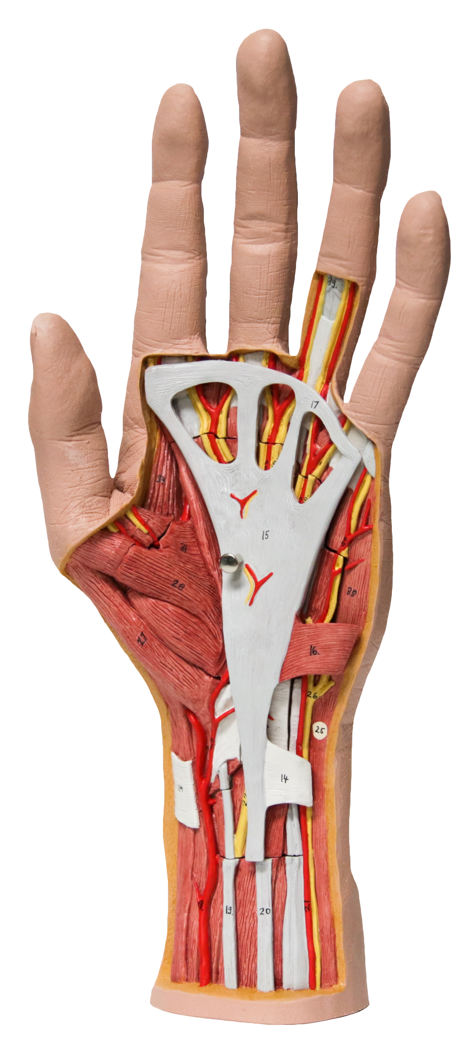 A human hand showing skin, tendons, ligaments, bone