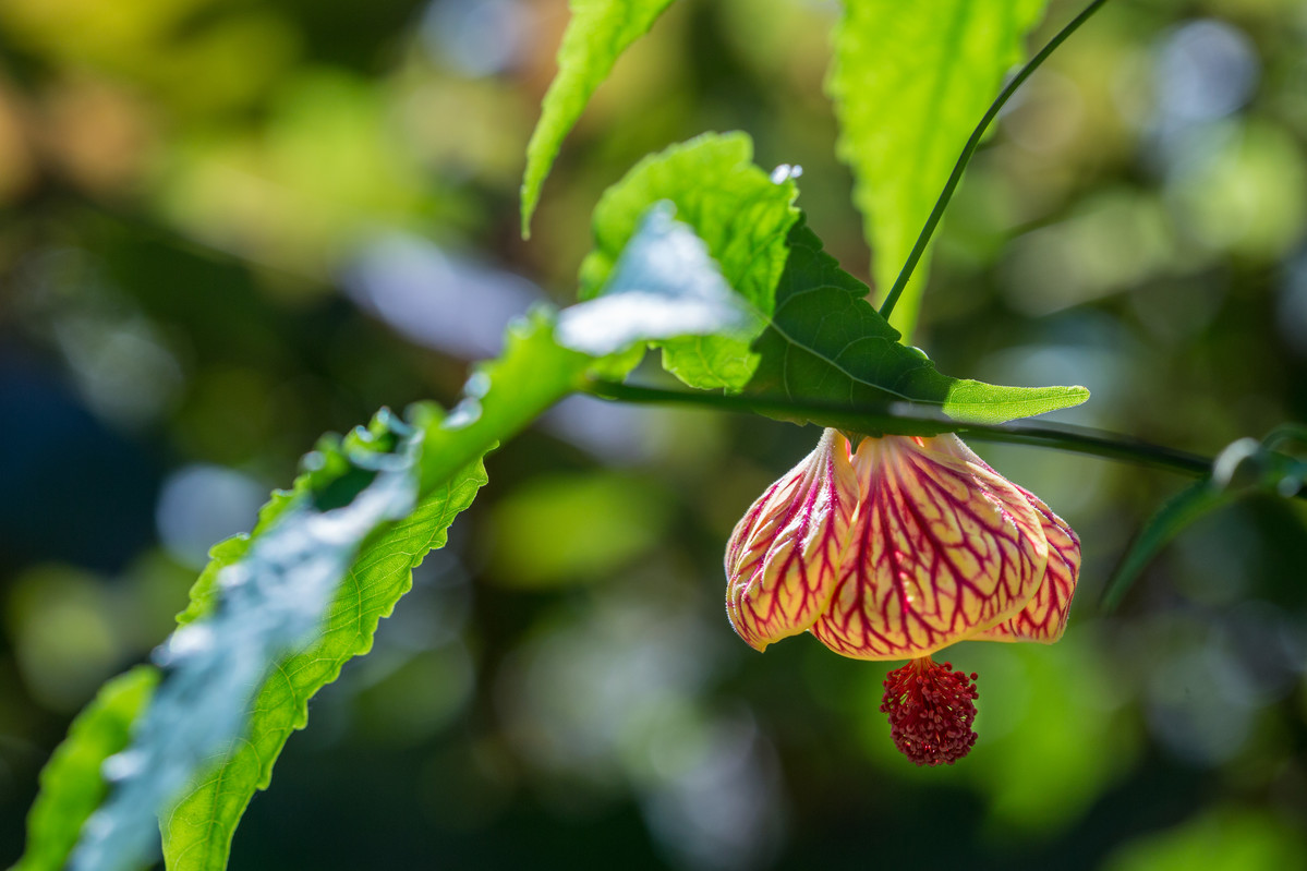 Abutilon (flowering maple) makes a good basket filler; photo by Marlon Co