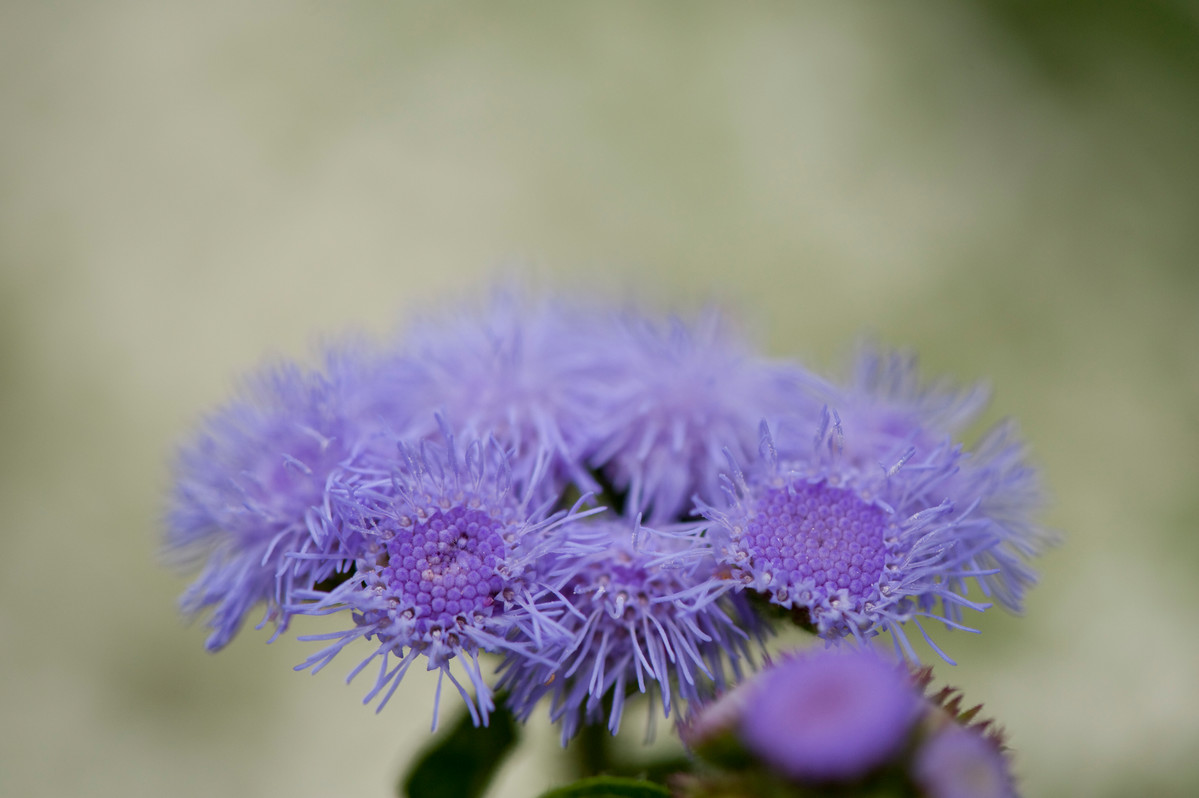 Ageratum houstonianum 'Blue Horizon'; photo by Ivo Vermeulen