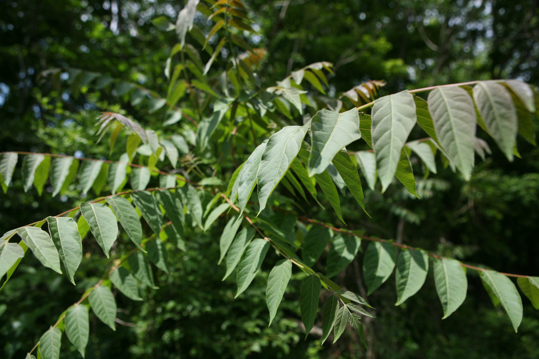 Ailanthus altissima (Tree of Heaven) spreads aggressively via wind blown seed; photo courtesy of Flickr cc/ Wayne National Forest
