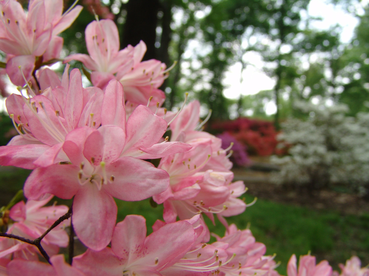 View of Azalea Way at NYBG; photo by Jason Fernandes