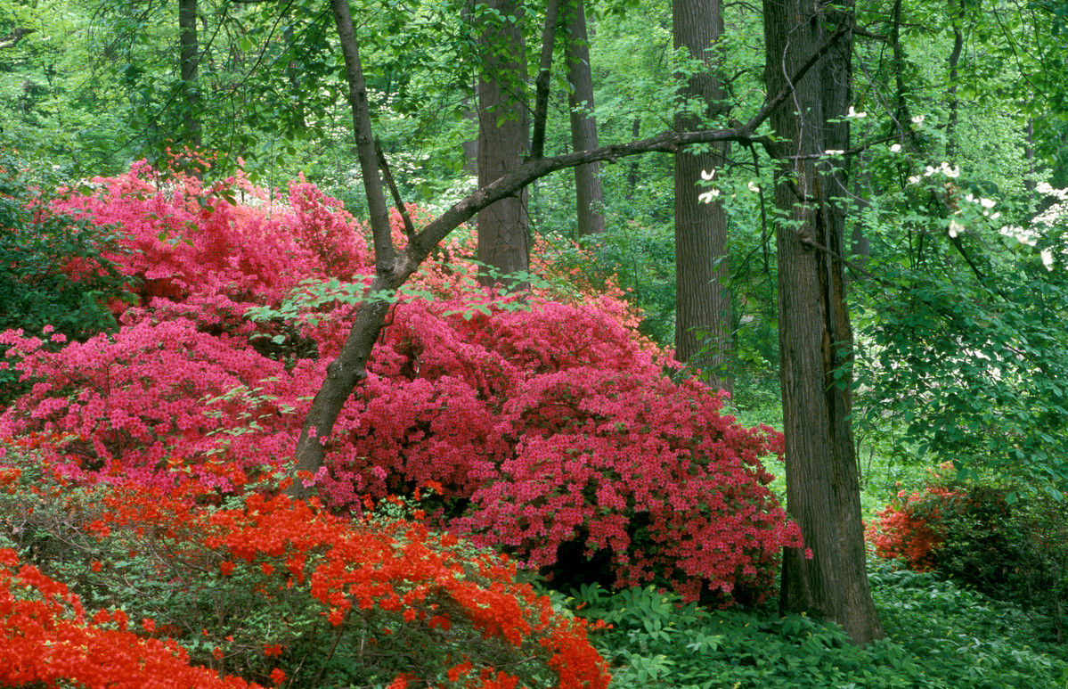 Photo of azaleas in bloom along Azalea Way at NYBG