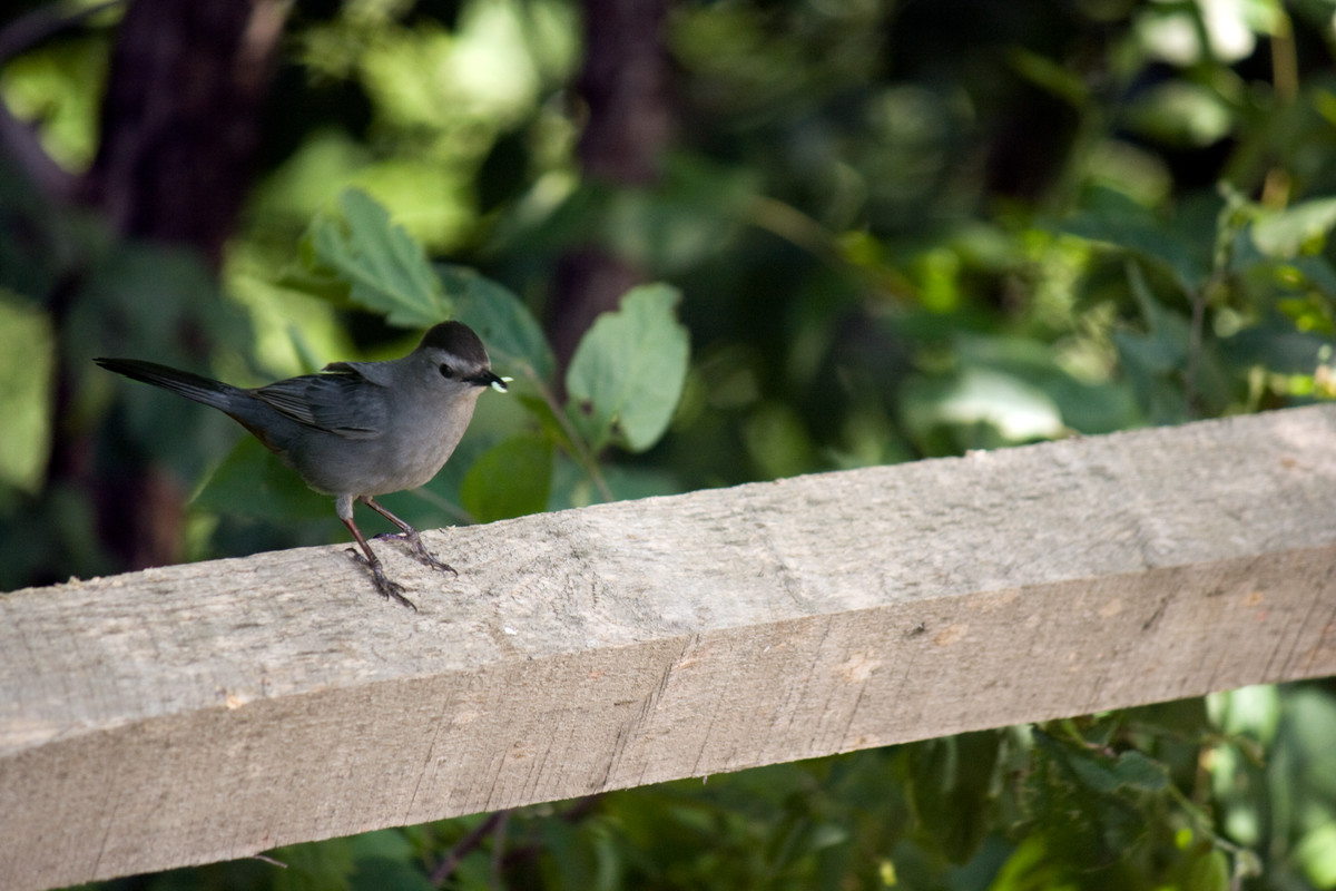 Catbird in the forest at NYBG