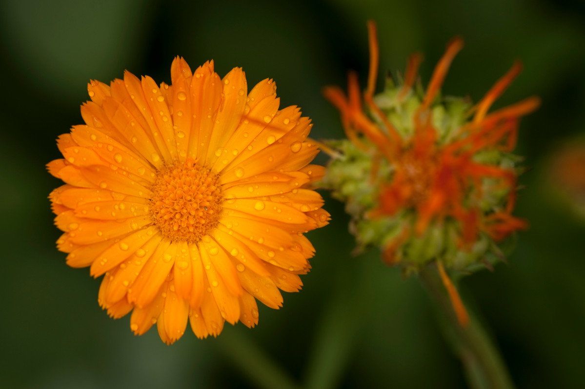 Pot marigold (Calendula officinalis) are a nice addition to herb butters; photo by Ivo Vermeulen