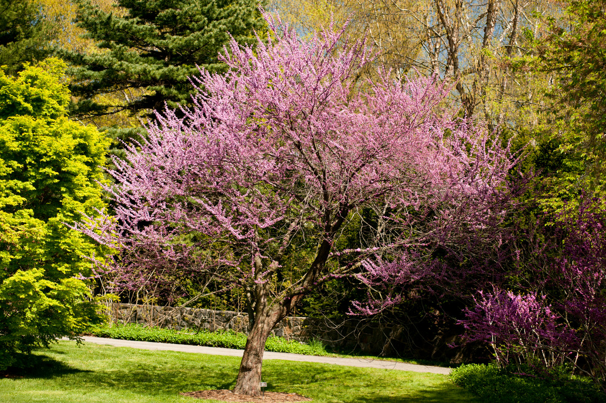 Cercis canadensis in the Ross Conifer Arboretum at NYBG; photo by Ivo Vermeulen