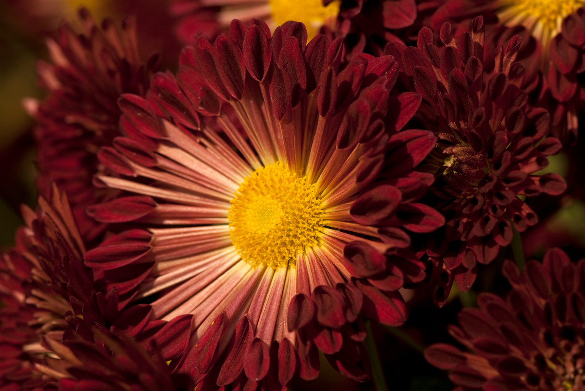 Chrysanthemum 'Redwing' is a Class 9 Spoon chrysanthemum; photo by Ivo Vermeulen