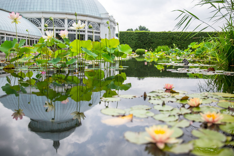 Photo of exterior conservatory pond with Nelumbo (lotus); photo by Marlon Co