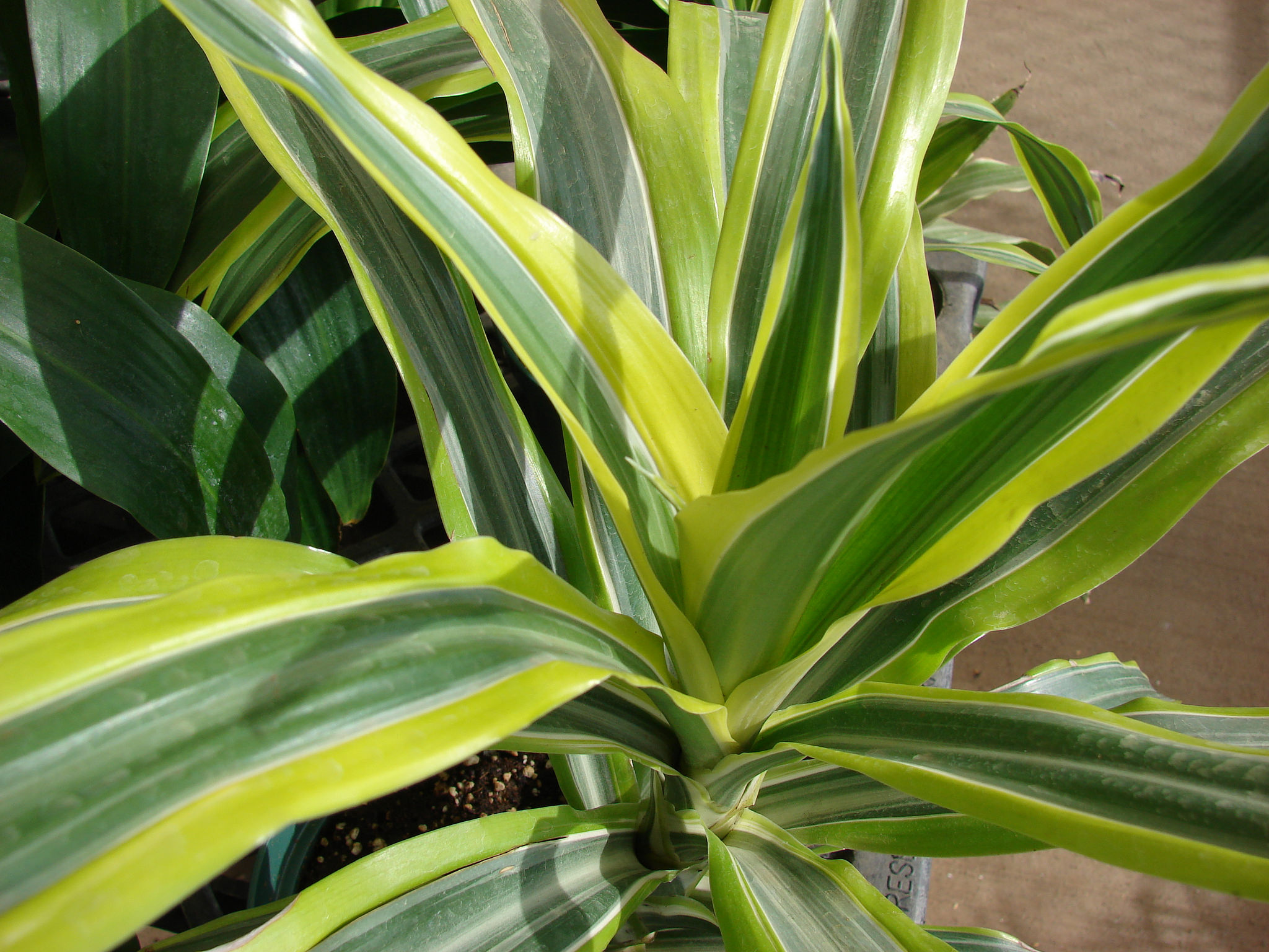 Dracaena fragrans; photo courtesy of Flickr cc/ Forest and Kim Starr