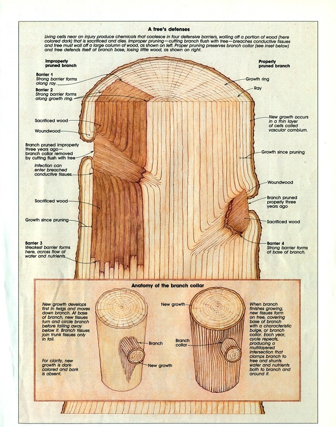 Diagram of the cross section of a tree depicting its defense system courtesy of Fine Gardening Vol. 10 Nov/Dec 1989