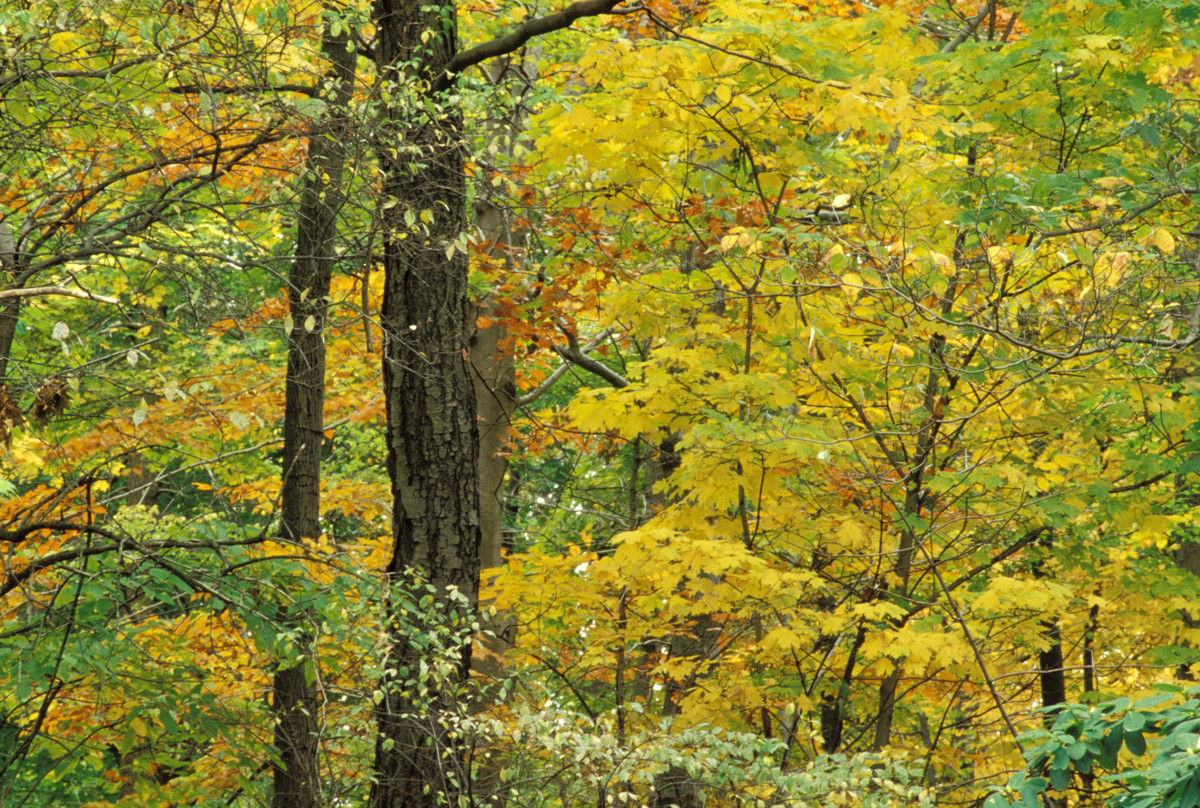 Golden fall color in Thain Forest at NYBG