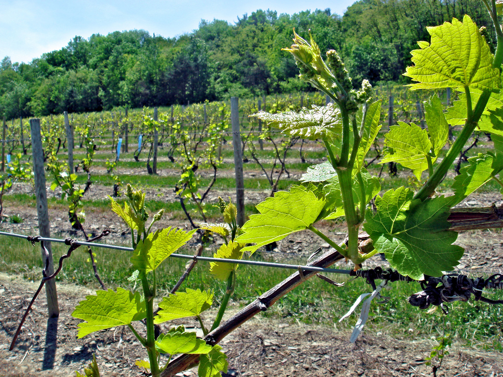 Commercially grown grapes on the vine in upstate New York; photo courtesy of Flickr cc/Chris_Dlugosz