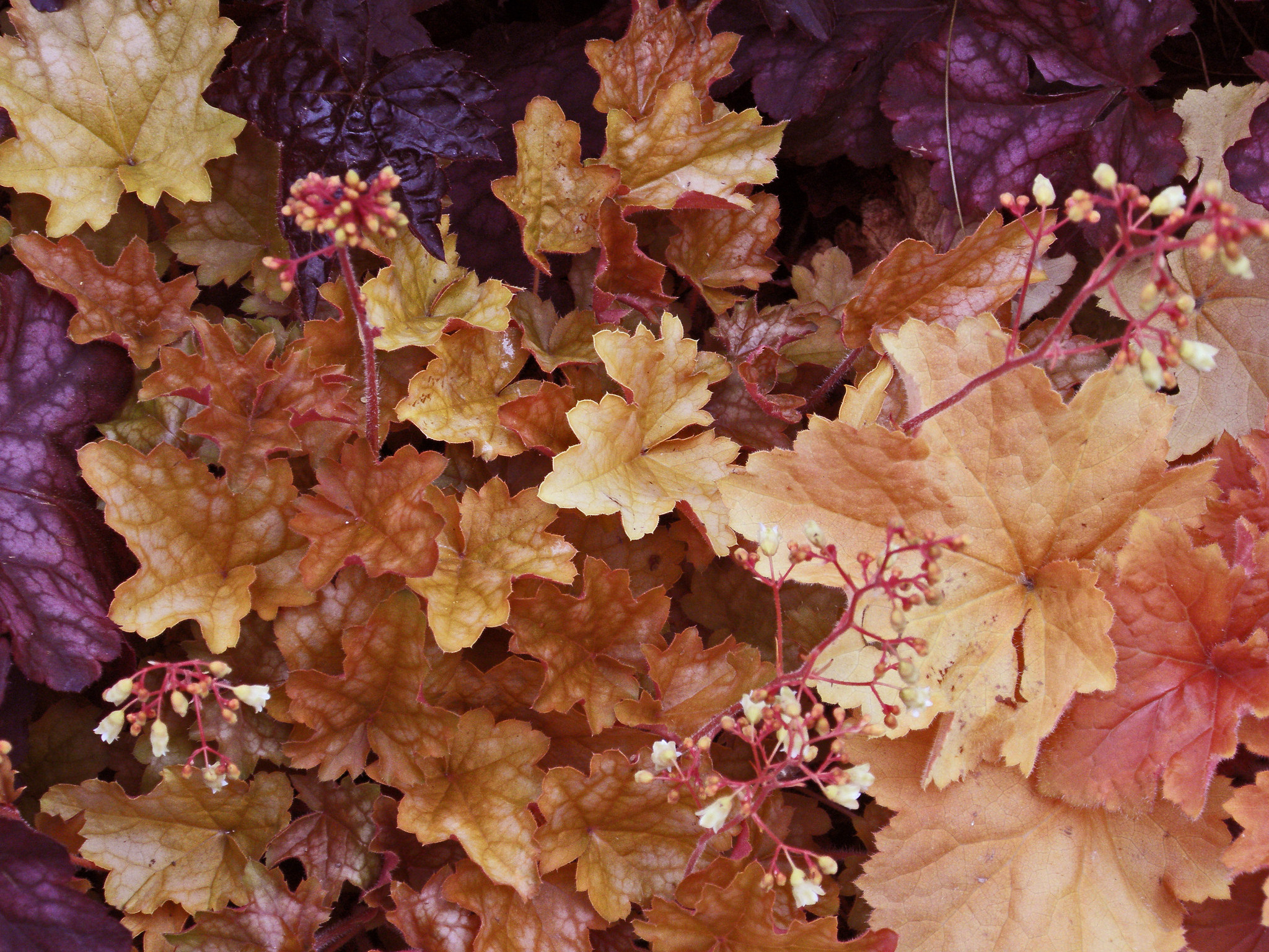 Heuchera photo courtesy of Flickr cc/Amanda Slater