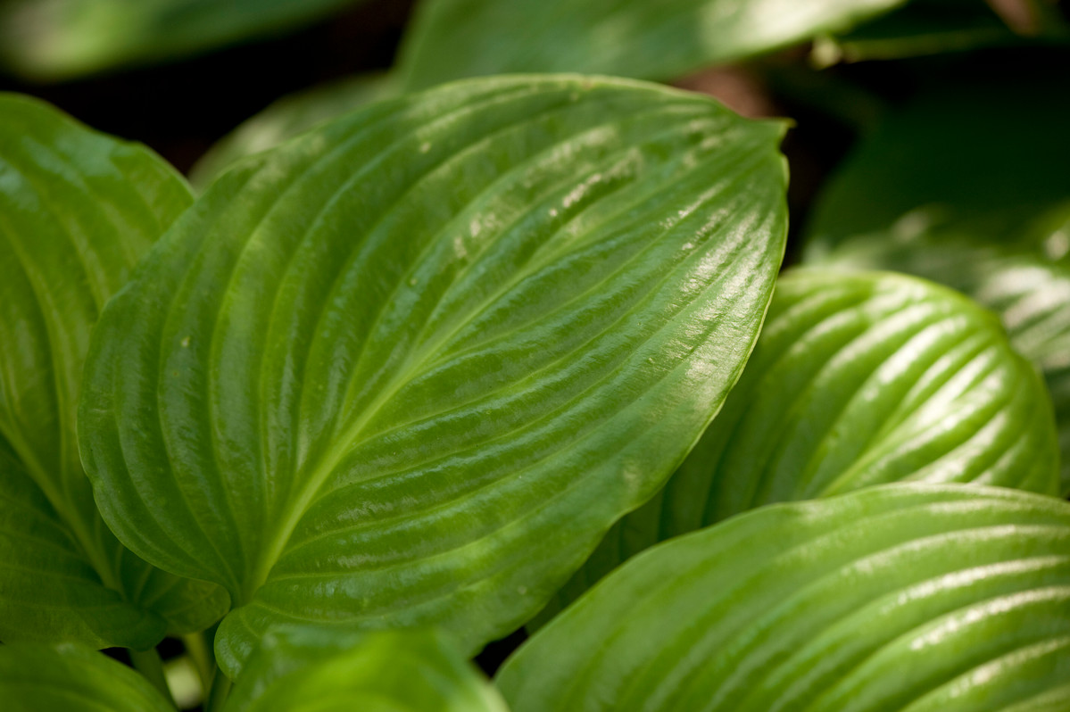 Hostas, like this H. 'Aphrodite', are particularly beset by the problem of slug damage; photo by Ivo Vermeulen