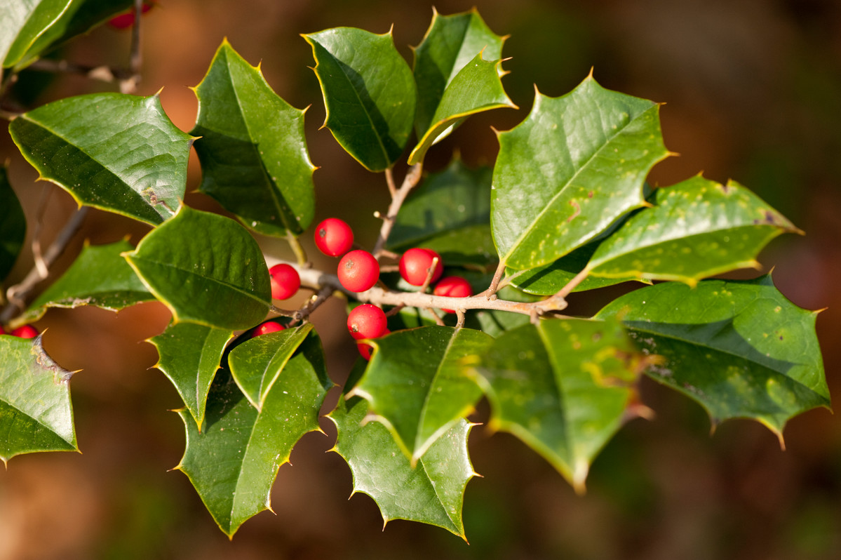 Ilex opaca (American holly) has proven to be more deer-resistant than most hollies; photo by Ivo Vermeulen