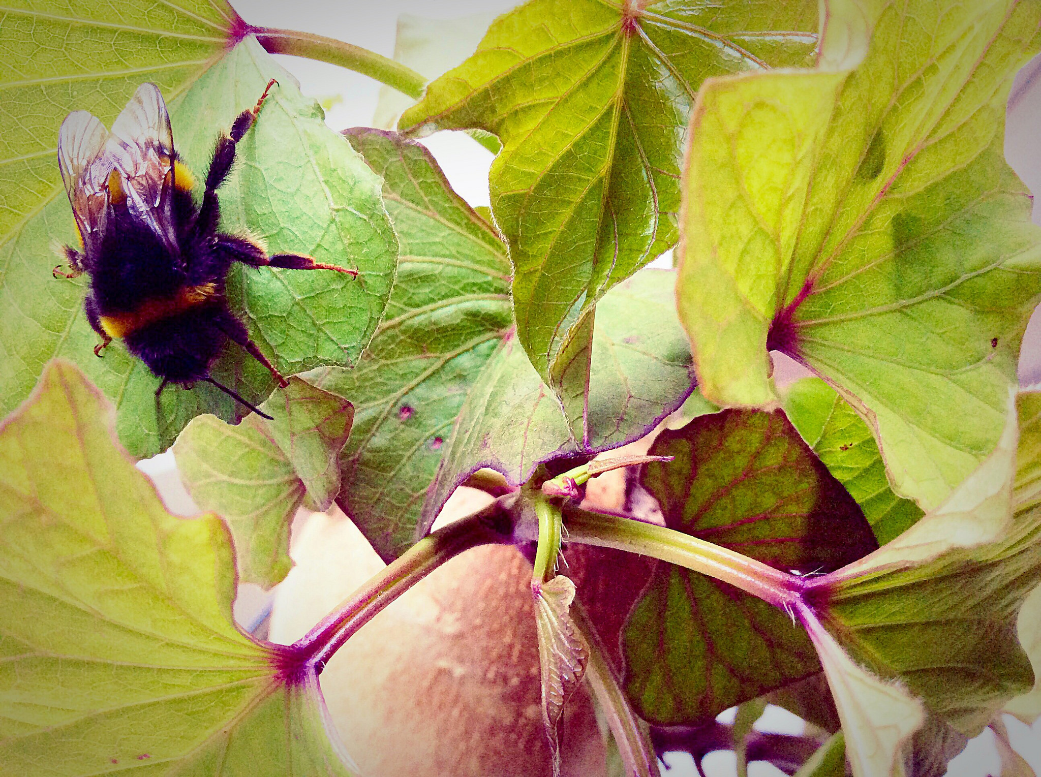 Bee on sweet potato (Ipomea batatas) plant; photo courtesy of Flickr cc/fox-and-fern