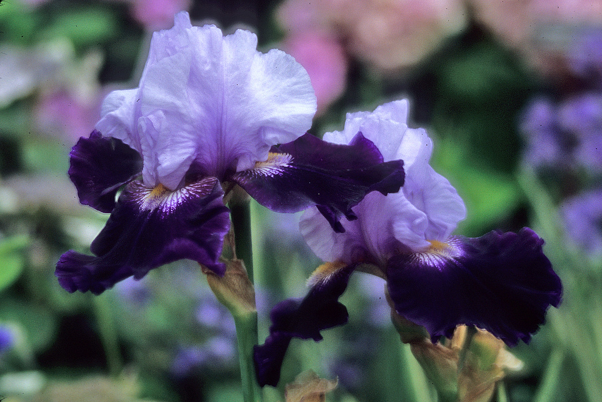 Complete lifting and dividing irises in October