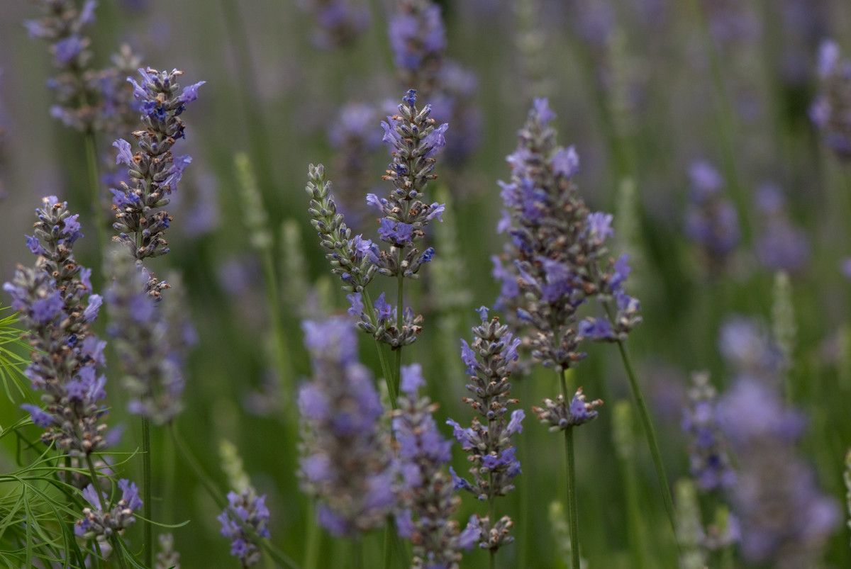 Lavandula x intermedia 'Provence' is a beautiful companion for roses; photo by Ivo Vermeulen