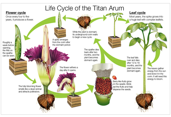 Illustration of the lifecycle of a titan arum; courtesy of Chicago Botanical Garden