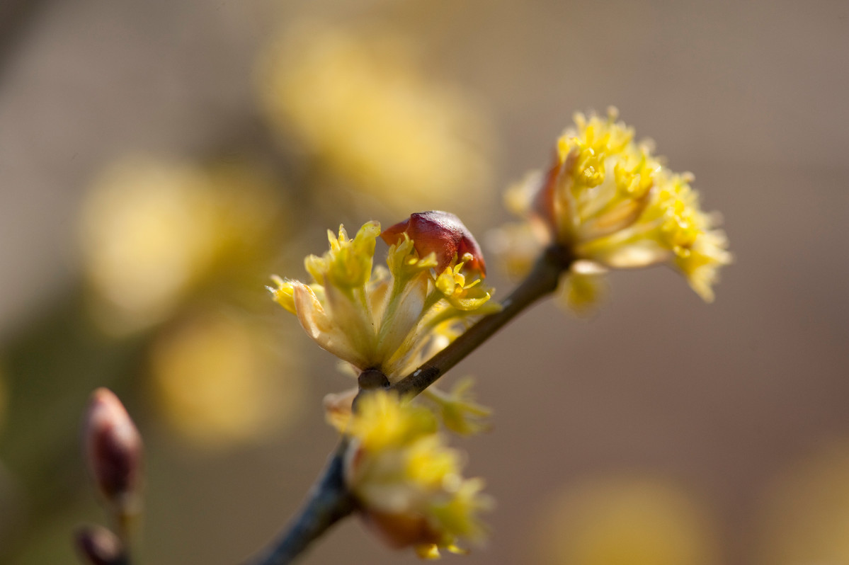 Spicebush (Lindera) is a suitable, early-blooming shrub to force indoors; photo by Ivo Vermeulen