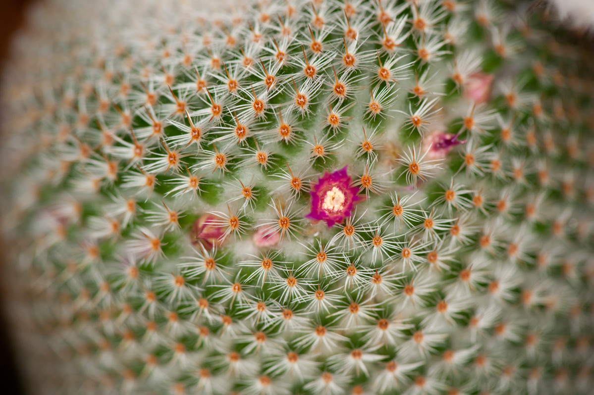 Photo of Mammillaria supertaxta cactus in flower taken at NYBG; photo by Ivo Vermeulen