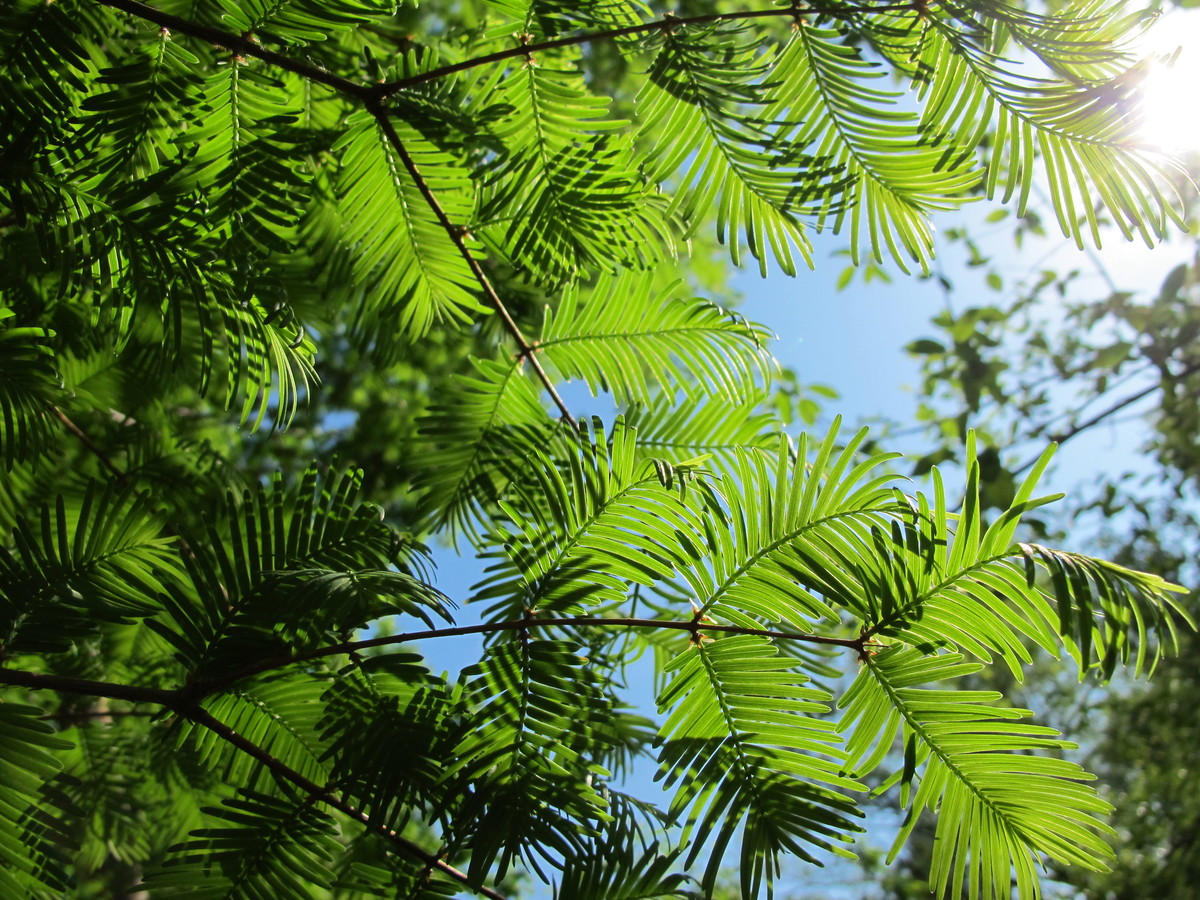 Metasequoia glyptostroboides (dawn redwood) is a deciduous conifer
