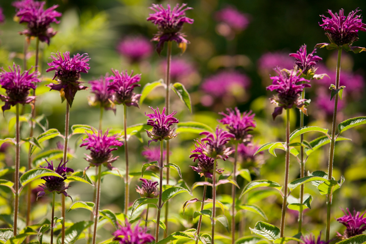 Some perennials can be partially pinched back in late spring to spread flowering over longer period; photo of bee balm (Monarda didyma 'Purple Rooster') at NYBG by Ivo Vermeulen