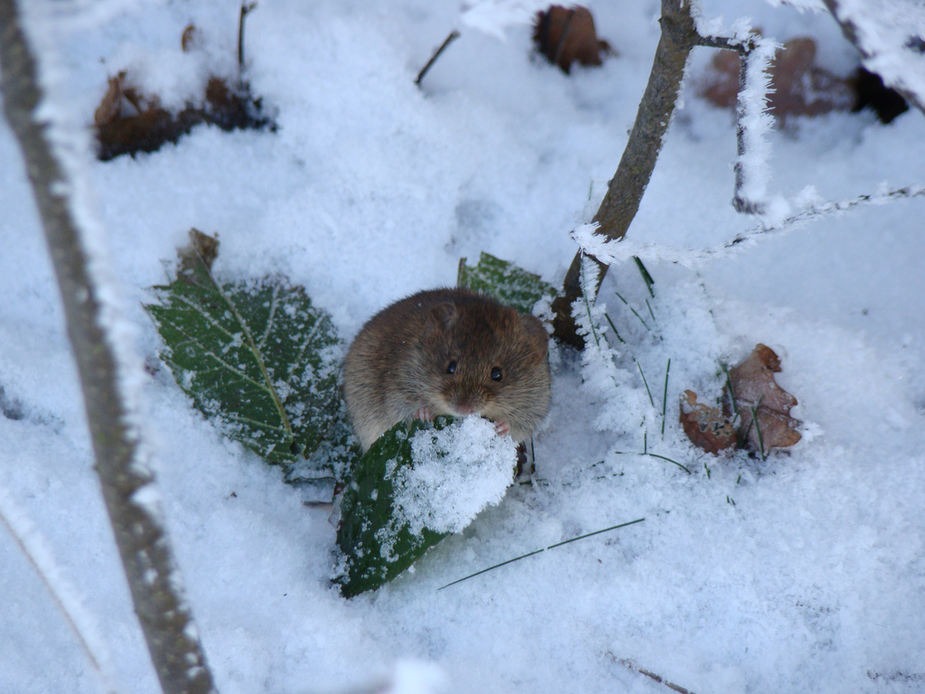 With their usual food source covered in snow, mice and rabbits may damage your trees and shrubs; photo courtesy of Flickr cc/Ronnie Meijer