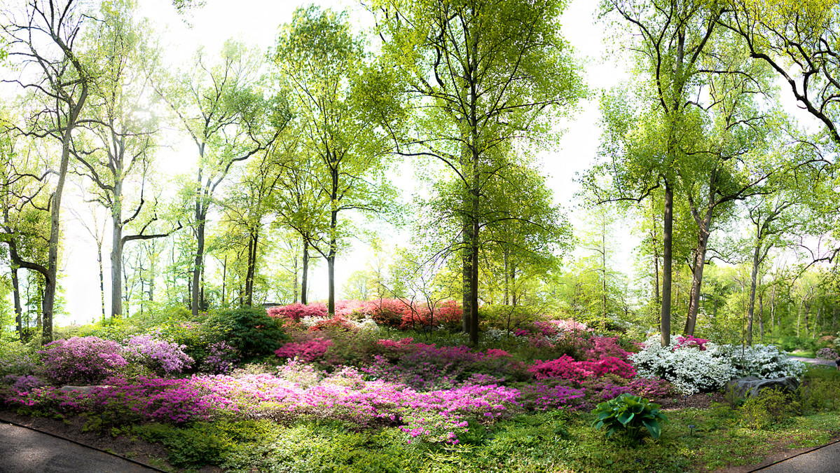 Azaleas in woods at NYBG