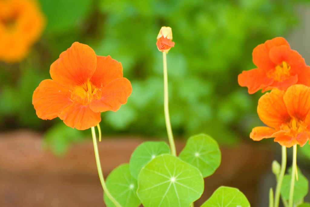 Nasturtiums (Tropaeolum) are a colorful addition to vinegar; photo courtesy of Flickr cc/Don LaVange