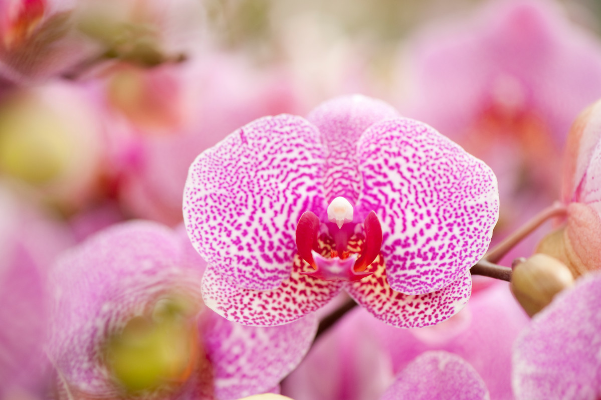 Photo of Phalaenopsis Leopard Princess x Taisuco Firebird orchid at NYBG taken by Ivo Vermeulen