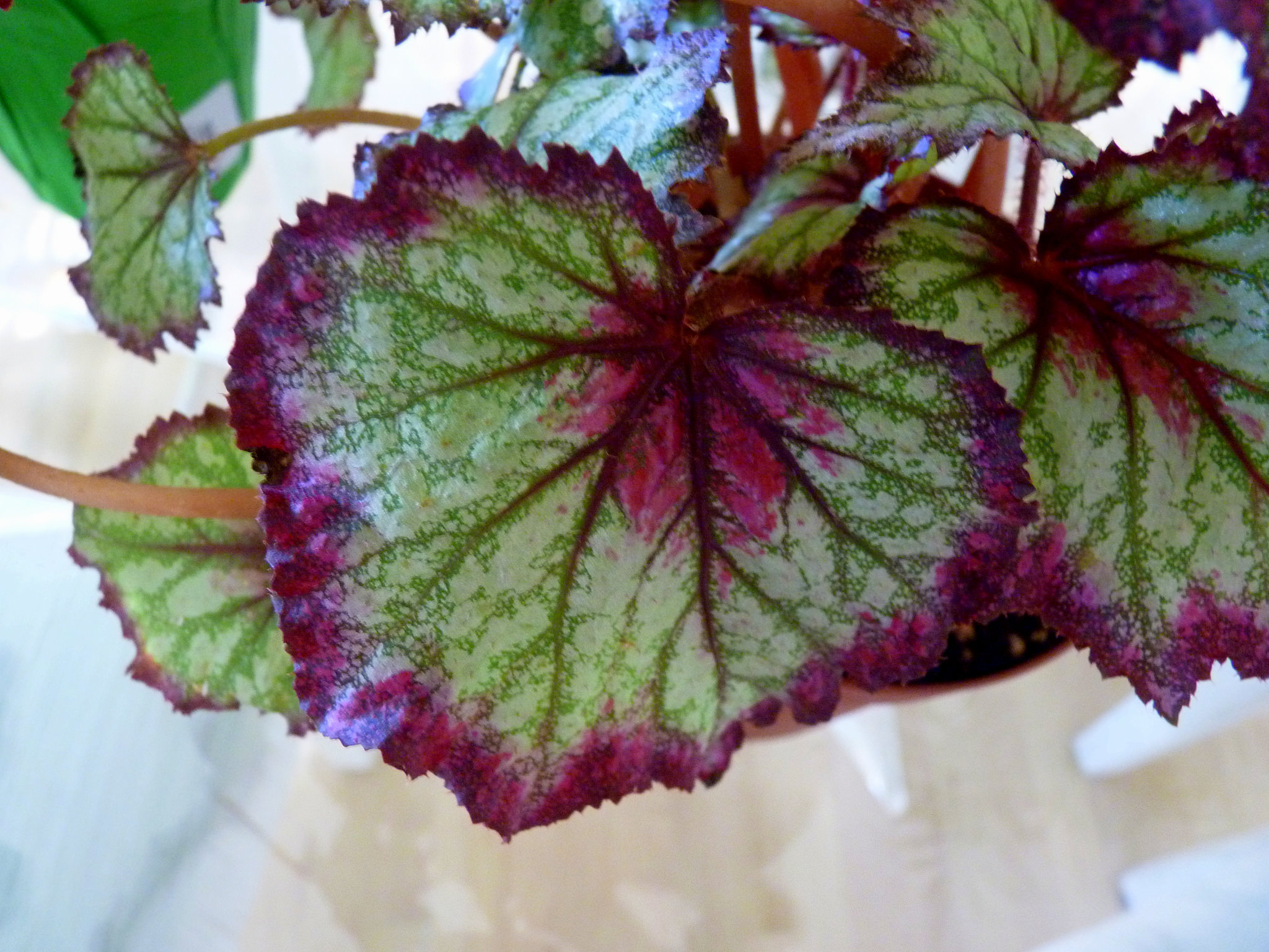 A rex begonia can be a stunning hanging plant; photo courtesy of Flickr cc/Howard Lifshitz