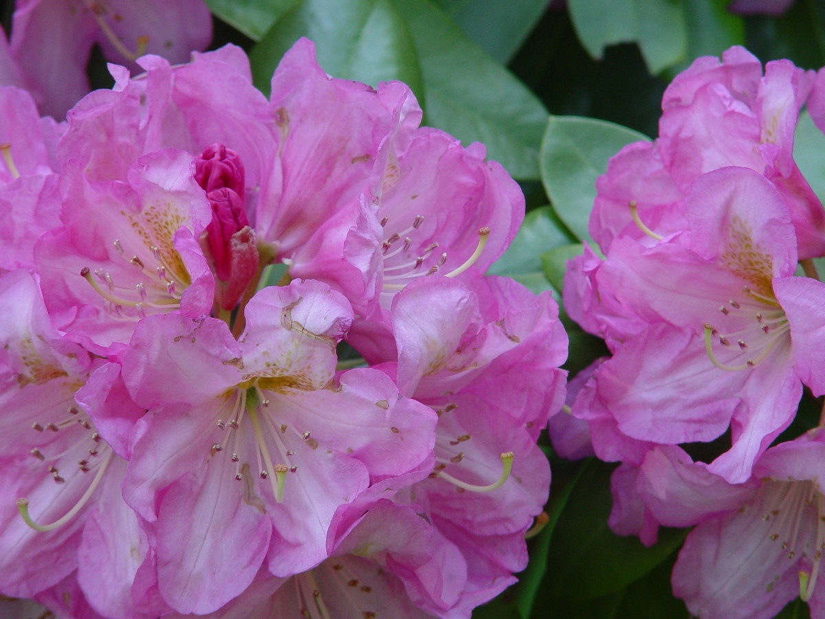 Rhododendron Parker's Pink at NYBG