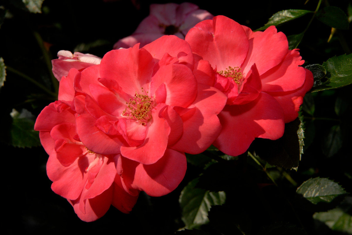 Photo of shrub rose 'Lady Elsie May' at NYBG