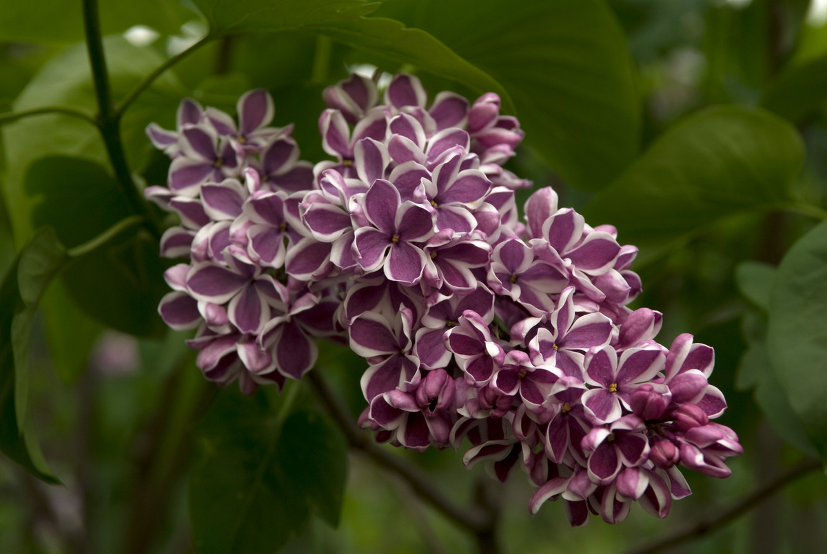 Lilacs, like Syringa vulgaris Sensation, dry best with a desiccant; photo by Ivo Vermeulen